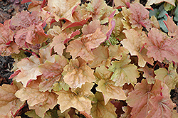 Dolce® Creme Brulee Coral Bells (Heuchera 'Tnheu041') at Town And Country Gardens