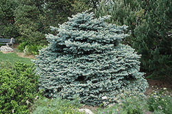 Montgomery Blue Spruce (Picea pungens 'Montgomery') at Town And Country Gardens