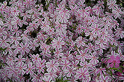 Candy Stripe Moss Phlox (Phlox subulata 'Candy Stripe') at Town And Country Gardens