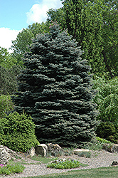 Fat Albert Blue Spruce (Picea pungens 'Fat Albert') at Town And Country Gardens