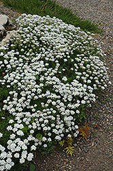 Little Gem Candytuft (Iberis sempervirens 'Little Gem') at Town And Country Gardens
