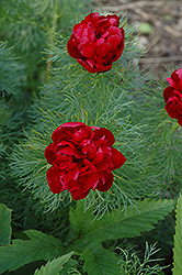 Double Fernleaf Peony (Paeonia tenuifolia 'Rubra Plena') at Town And Country Gardens