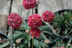 Joystick Red Sea Thrift (Armeria pseudarmeria 'Joystick Red') at Town And Country Gardens