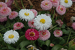 Bright Carpet Mix English Daisy (Bellis perennis 'Bright Carpet Mix') at Town And Country Gardens