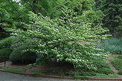 Pagoda Dogwood (Cornus alternifolia) at Town And Country Gardens