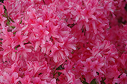 Rosy Lights Azalea (Rhododendron 'Rosy Lights') at Town And Country Gardens