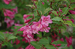 Minuet Weigela (Weigela florida 'Minuet') at Town And Country Gardens