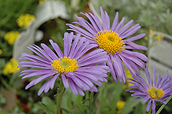 Goliath Alpine Aster (Aster alpinus 'Goliath') at Town And Country Gardens