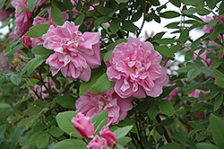 Therese Bugnet Rose (Rosa 'Therese Bugnet') at Town And Country Gardens