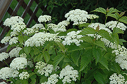 Blue Muffin® Viburnum (Viburnum dentatum 'Christom') at Town And Country Gardens