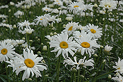 Shasta Daisy (Leucanthemum x superbum) at Town And Country Gardens