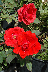 Morden Fireglow Rose (Rosa 'Morden Fireglow') at Town And Country Gardens