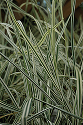 Variegated Oat Grass (Arrhenatherum elatum 'Variegatum') at Town And Country Gardens