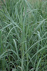 Heavy Metal Blue Switch Grass (Panicum virgatum 'Heavy Metal') at Town And Country Gardens