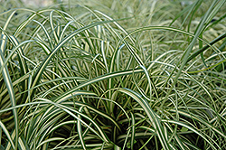 Evergold Variegated Japanese Sedge (Carex oshimensis 'Evergold') at Town And Country Gardens