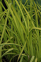 Bowles Golden Sedge (Carex elata 'Aurea') at Town And Country Gardens