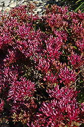Dragon's Blood Stonecrop (Sedum spurium) at Town And Country Gardens