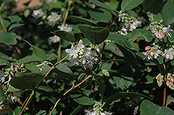 Snowberry (Symphoricarpos albus) at Town And Country Gardens