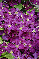 Jackmanii Superba Clematis (Clematis x jackmanii 'Superba') at Town And Country Gardens