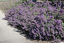 Walker's Low Catmint (Nepeta x faassenii 'Walker's Low') at Town And Country Gardens