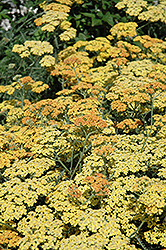 Terra Cotta Yarrow (Achillea 'Terra Cotta') at Town And Country Gardens