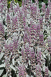 Lamb's Ears (Stachys byzantina) at Town And Country Gardens