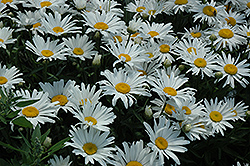 Silver Princess Shasta Daisy (Leucanthemum x superbum 'Silver Princess') at Town And Country Gardens