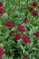 Crimson Scabious (Knautia macedonica) at Town And Country Gardens