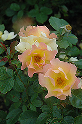 Morden Sunrise Rose (Rosa 'Morden Sunrise') at Town And Country Gardens