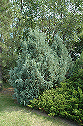 Wichita Blue Juniper (Juniperus scopulorum 'Wichita Blue') at Town And Country Gardens