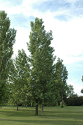 Robusta Poplar (Populus 'Robusta') at Town And Country Gardens
