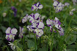 Columbine Pansy (Viola 'Columbine') at Town And Country Gardens