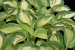 June Hosta (Hosta 'June') at Town And Country Gardens