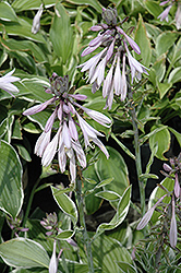 Francee Hosta (Hosta 'Francee') at Town And Country Gardens