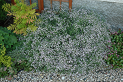 Common Baby's Breath (Gypsophila paniculata) at Town And Country Gardens