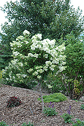 Pink Diamond Hydrangea (tree form) (Hydrangea paniculata 'Pink Diamond (tree form)') at Town And Country Gardens