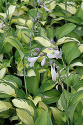 Adrian's Glory Hosta (Hosta 'Adrian's Glory') at Town And Country Gardens