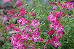Red Rocks Beard Tongue (Penstemon x mexicali 'Red Rocks') at Town And Country Gardens
