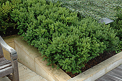 Dark Green Spreader Yew (Taxus x media 'Dark Green Spreader') at Town And Country Gardens