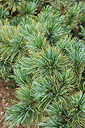 Blue Dwarf Japanese Stone Pine (Pinus pumila 'Blue Dwarf') at Town And Country Gardens