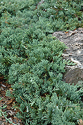 Blue Rug Juniper (Juniperus horizontalis 'Wiltonii') at Town And Country Gardens