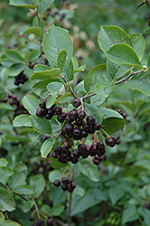 Black Chokeberry (Aronia melanocarpa 'var. elata') at Town And Country Gardens