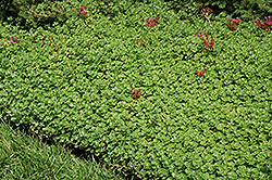 John Creech Stonecrop (Sedum spurium 'John Creech') at Town And Country Gardens