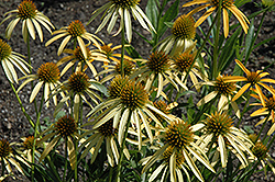 Mango Meadowbrite Coneflower (Echinacea 'Mango Meadowbrite') at Town And Country Gardens