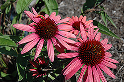 Big Sky Twilight Coneflower (Echinacea 'Big Sky Twilight') at Town And Country Gardens