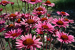 Fatal Attraction Coneflower (Echinacea purpurea 'Fatal Attraction') at Town And Country Gardens