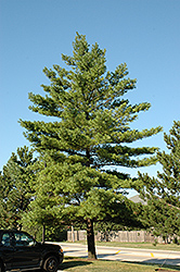 White Pine (Pinus strobus) at Town And Country Gardens