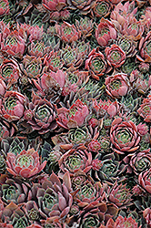 Purple Beauty Hens And Chicks (Sempervivum 'Purple Beauty') at Town And Country Gardens