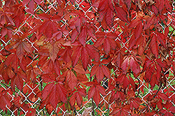Englemann Ivy (Parthenocissus quinquefolia 'var. englemannii') at Town And Country Gardens