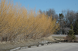 Golden Willow (Salix alba 'Vitellina') at Town And Country Gardens